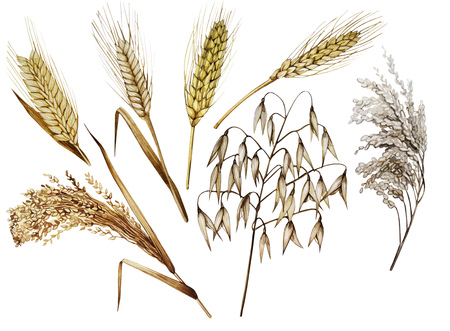 cereals: Collection of watercolor cereals. Wheat, millet, barley, rye, oats and rice isolated on white background