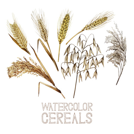 millet: Collection of watercolor cereals. Wheat, millet, barley, rye, oats and rice isolated on white background