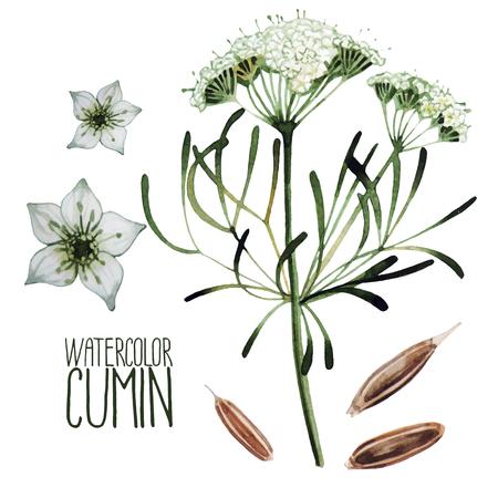 set Acquerello cumino isolato su sfondo bianco. spezie naturali Vettoriali