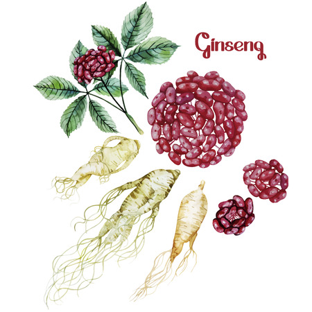 medicina tradicional china: Acuarela raíz de ginseng y bayas. Vector conjunto de especias