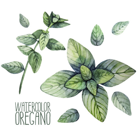 Watercolor oregano set isolated on white background. Natural vector spices