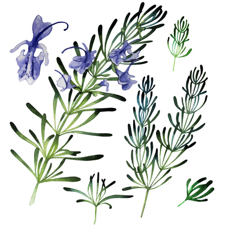 herbaceous: Watercolor rosemary set  isolated on white background. Natural spices Stock Photo