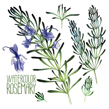 Watercolor rosemary set  isolated on white background. Natural vector spices