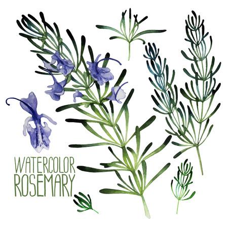 Watercolor rozemarijn set geïsoleerd op een witte achtergrond. Natuurlijke vector specerijen Stockfoto - 56237983