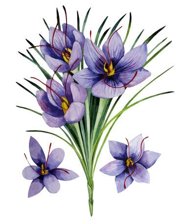 saffron: Saffron flowers. Watercolor illustration isolated on white background