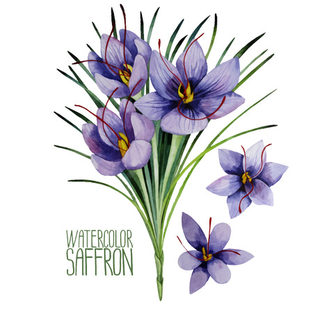 Saffron flowers. Watercolor illustration isolated on white background