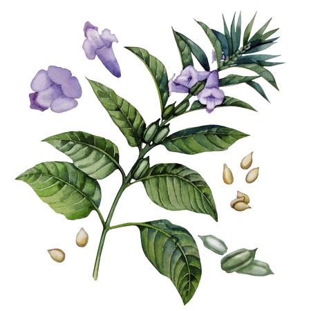Watercolor sesam bloemen geïsoleerd op een witte achtergrond. Natural spices Stockfoto - 56287638