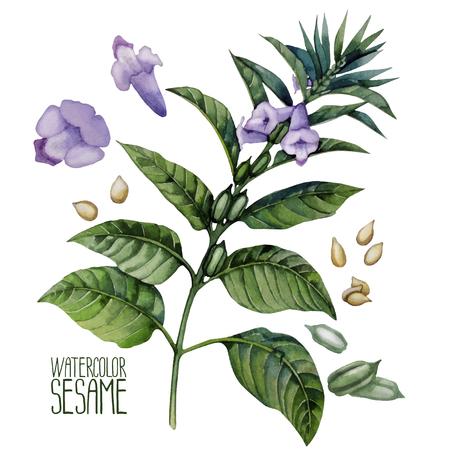 Watercolor sesam bloemen geïsoleerd op een witte achtergrond. Natuurlijke vector specerijen Stockfoto - 56287639