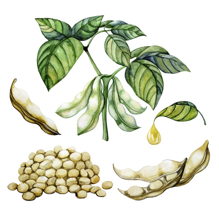 Set of watercolor soy plants isolated on white background. Beans,leaves and oil