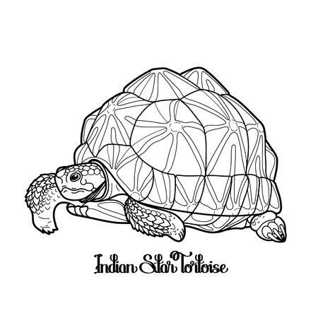 ceylon: Graphic Indian star tortoise drawn in line art style isolated on white background.  Geochelone elegans. Rare turtle pet.  Coloring book page design