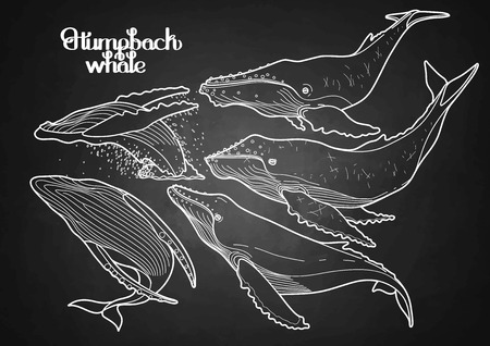 humpback: Collection of graphic humpback whales isolated on chalkboard.  Giant sea and ocean creatures in black and white colors