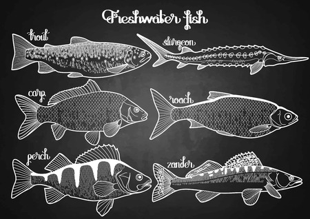 sturgeon: Graphic freshwater fish collection drawn in line art style. Sturgeon, roach, zander, trout, carp, perch for seafood menu. Freshwater creatures isolated on chalkboard