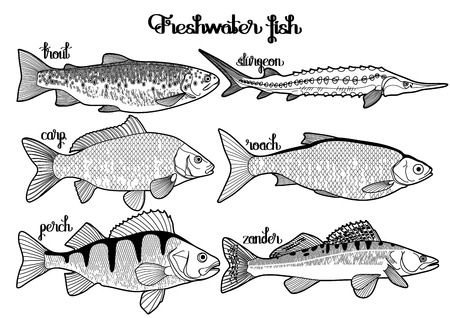sturgeon: Graphic freshwater fish collection drawn in line art style. Sturgeon, roach, zander, trout, carp, perch for seafood menu. Freshwater creatures isolated on white background Illustration