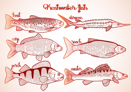 perch: Graphic freshwater fish collection drawn in line art style. Sturgeon, roach, zander, trout, carp, perch for seafood menu. Freshwater creatures isolated on white background Illustration