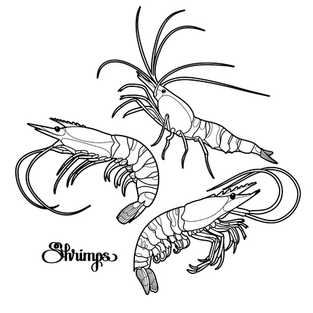 Graphic vector shrimps collection drawn in line art style. Sea and ocean creatures isolated on white background. Seafood element. Coloring book page design