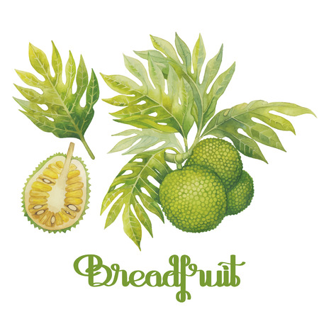 Watercolor breadfruit set. Hand painted exotic plants isolated on white background