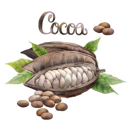 cocoa fruit: Watercolor dried cocoa fruit isolated on white background. Hand drawn exotic cacao plants