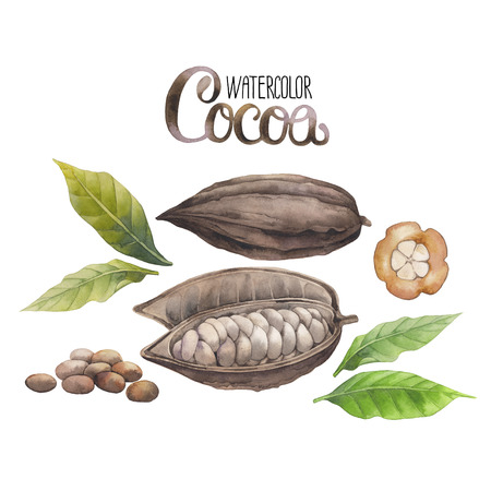 Watercolor dried cocoa fruit isolated on white background. Hand drawn exotic cacao plants