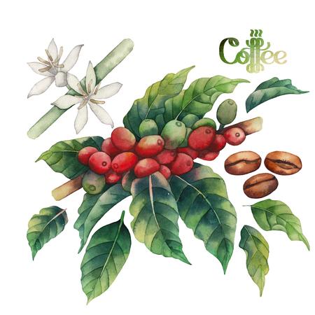 planta de cafe: juego de café de la acuarela aislado en el fondo blanco. Pintado a mano las hojas, flores y frijoles. decoración floral