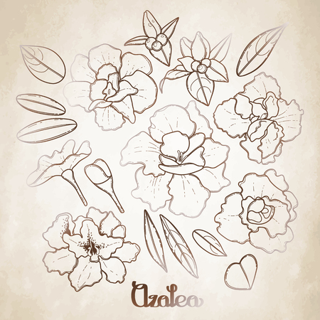 azalea: Azalea leaves and flowers collection. Vector graphic floral decorations isolated on aged texture Illustration