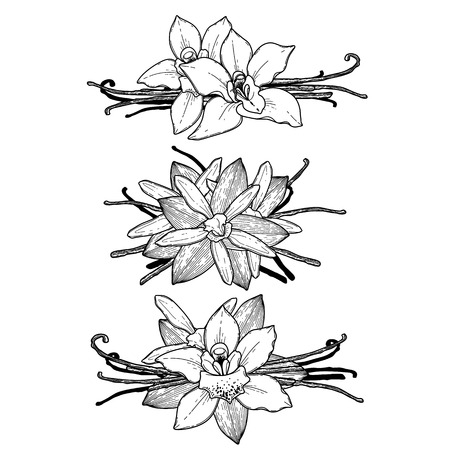 vignette: Graphic vanilla flowers collection isolated on white background. Vector floral vignettes. Coloring book page design for adults and kids Illustration