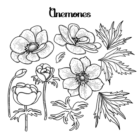 anemones: Collection of graphic anemones. Floral vector decorations isolated on white background. Coloring book page design for adults and kids