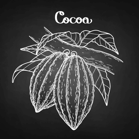 Graphic cocoa fruits on the branch isolated on chalkboard. Hand drawn exotic cacao plant
