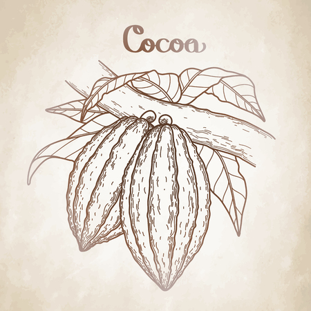 Graphic cocoa fruits on the branch isolated aged paper. Hand drawn exotic cacao plant in brawn colors Illustration