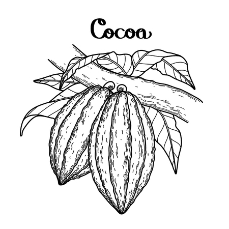 cacao: Graphic cocoa fruits on the branch isolated on white background. Hand drawn exotic cacao plant. Coloring book page design for adults and kids Illustration