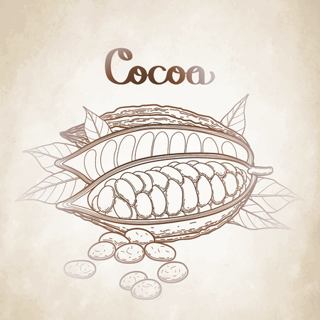 cacao: Graphic dried cocoa fruit isolated on aged paper. Hand drawn exotic cacao plant in brawn colors