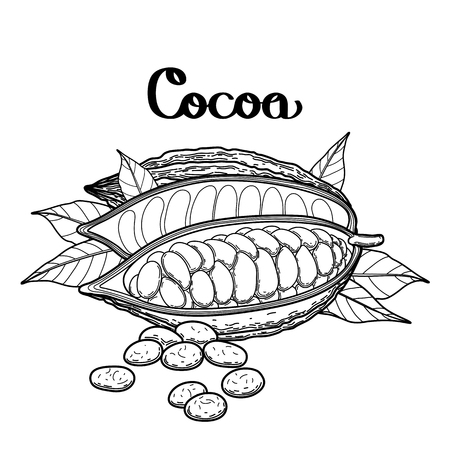 cacao: Graphic dried cocoa fruit isolated on white background. Vector exotic cacao plants. Coloring book page design for adults and kids
