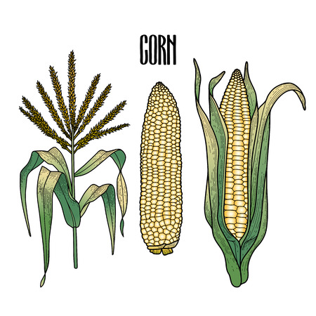 thanks giving: Graphic corn collection drawn in line art style. Traditional Thanks Giving Day food.