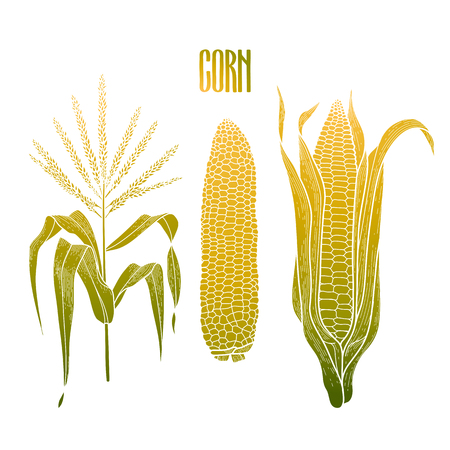 Graphic corn collection drawn in line art style. Traditional Thanks Giving Day food.