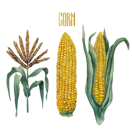 corncob: Watercolor corn collection isolated on white backdrop. Traditional Thanks Giving Day food.