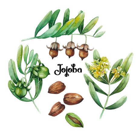 Ensemble de plante de jojoba colorée à l'eau. Banque d'images - 73414247