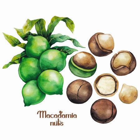 albero nocciolo: Noci di macadamia dell'acquerello Vettoriali