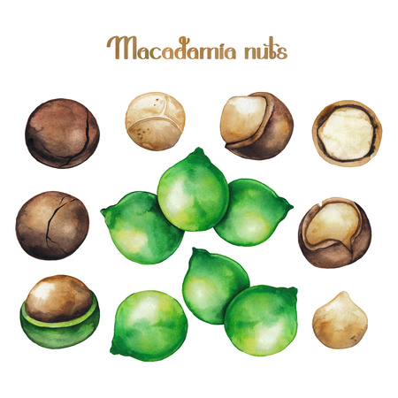 albero nocciolo: Noci di macadamia dell'acquerello Archivio Fotografico