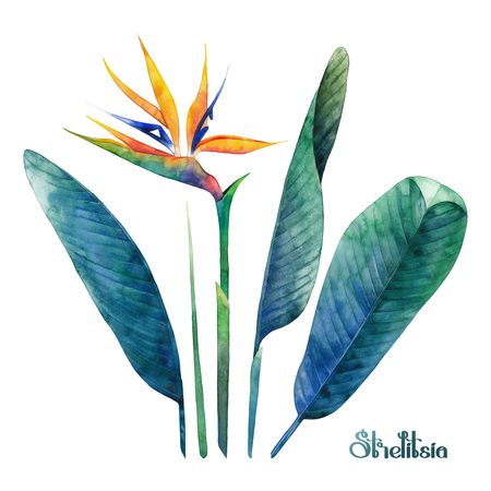 exotica: Watercolor strelitzia collection Stock Photo