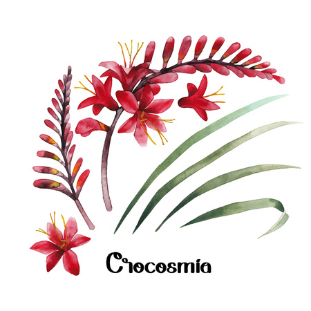 exotica: Watercolor crocosmia collection