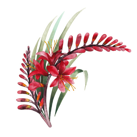 exotica: Watercolor crocosmia bouquet Illustration