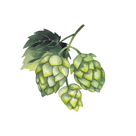Watercolor hops on the branch. Hand painted natural design isolated on white background Stock Photo