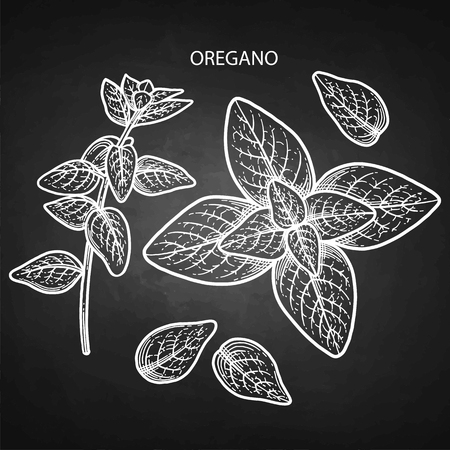 Graphic oregano set isolated on the chalkboard background. Natural vector spices Illustration