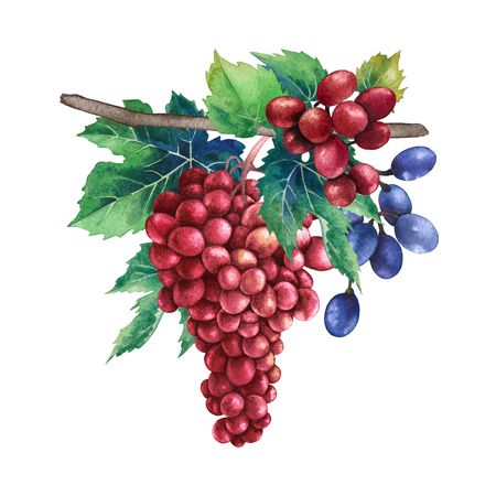 Watercolor bunches of red and blue grapes grapes hanging on the branch