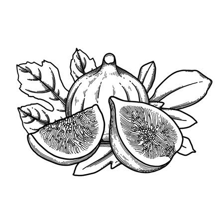 Fruits et feuilles de figues graphiques. Illustration botanique de vecteur isolé sur fond blanc Vecteurs