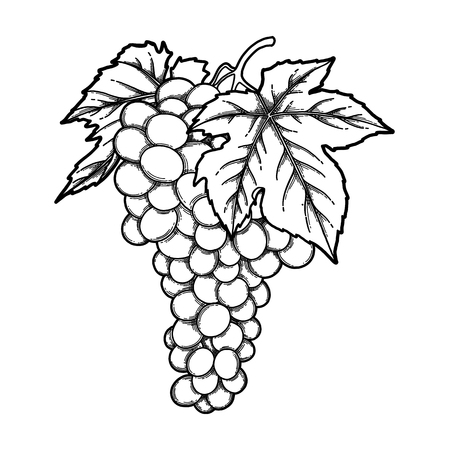 Grappes de raisins graphiques accrochées à la branche Vecteurs