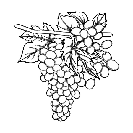 Graphic bunches of grapes hanging on the branch