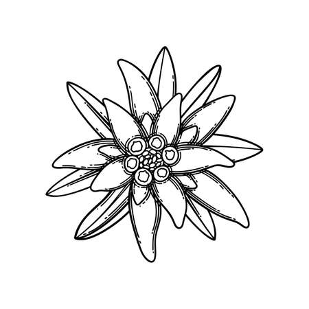Graphic vignette made of edelweiss flowers and leaves. Vector floral design isolated on white background