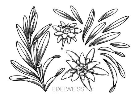 Collection of graphic edelweiss flowers and leaves. Vector botanical design isolated on white background