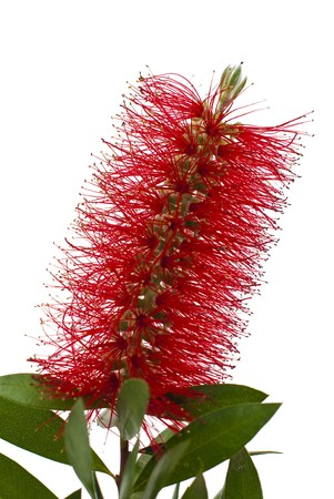 Red bottle-brush tree branch isolated on white background.