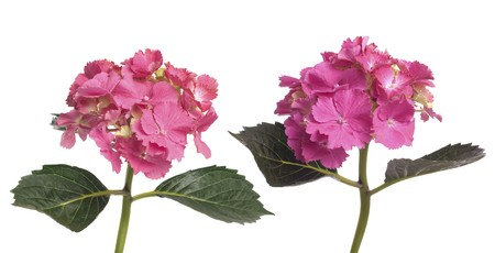 airiness: Lacecap Hydrangea (macrophylla normalis) isolated on white background.